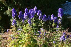 Vivaces A Floraison Automnale