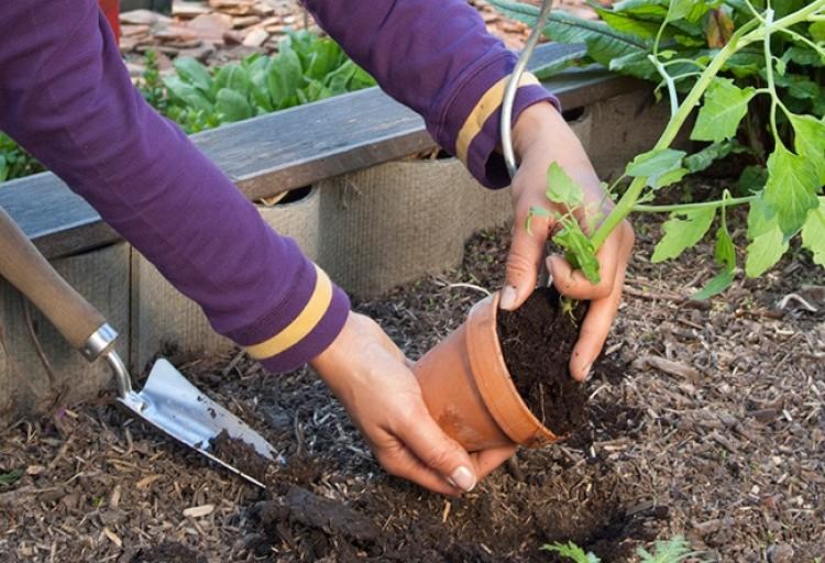 Autour des tomates conseils plantation - Comment planter des tomates ...