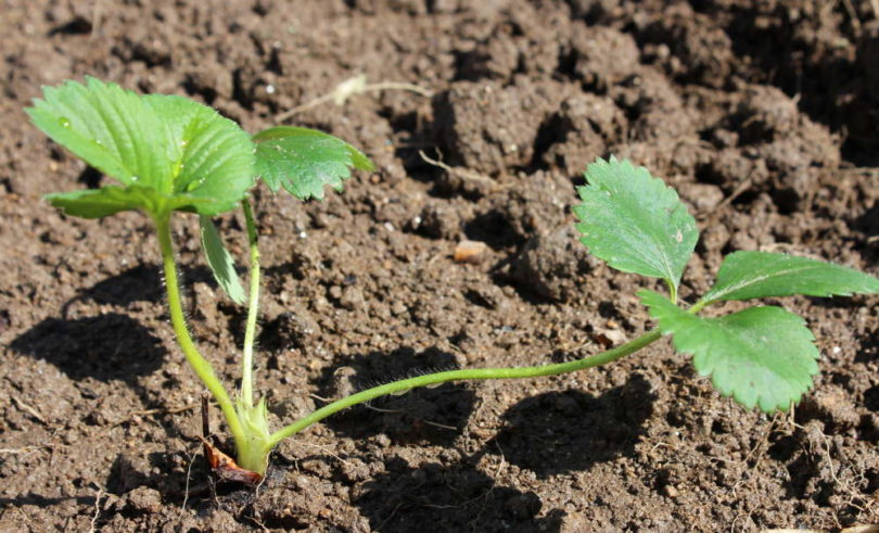 La plantation des fraisiers - Comment planter les fraisiers ...