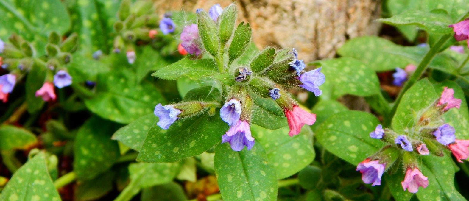 Vivaces couvre sol pour situation ensoleill for Plantes vivaces couvre sol